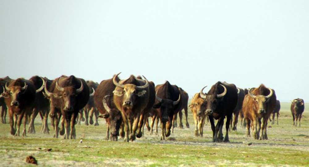 Buffello Nijhum Dwip