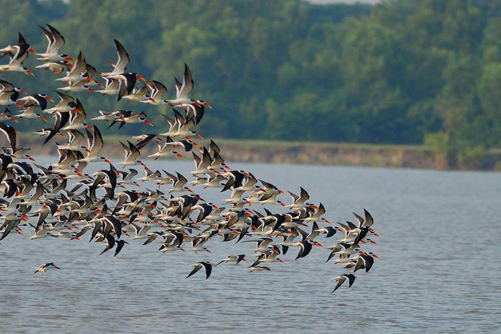 Nijhum Dwip Guest Birds