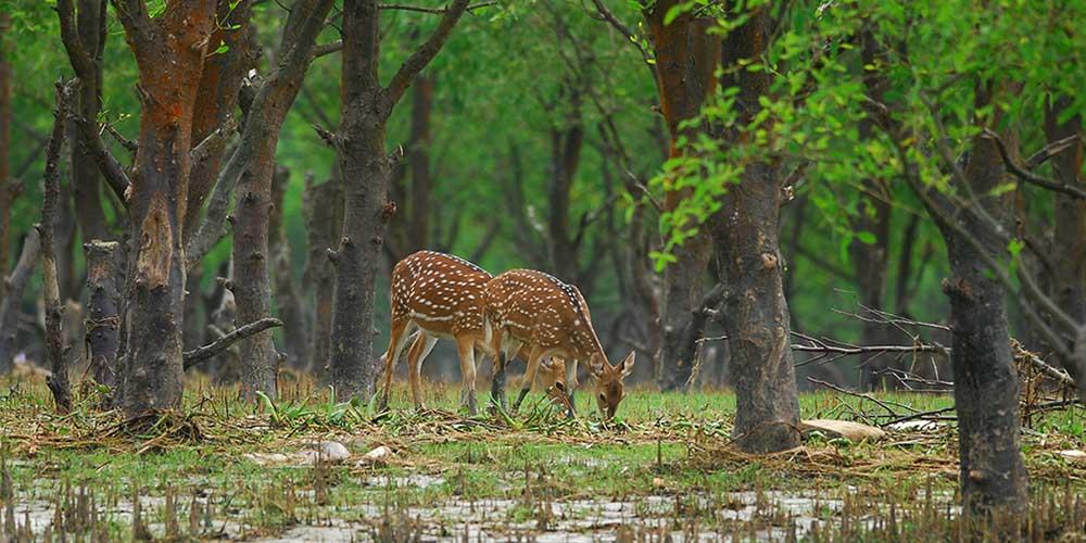 Nijhum Dwip Island Deer